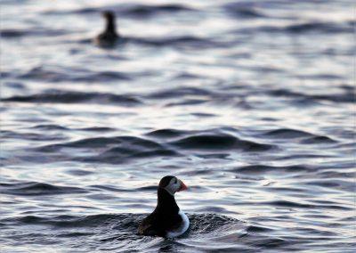 Bilde av lundefugler